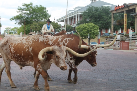 Longhorn cattle drive, Stockyards, Fort Worth, TX